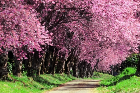 Cherry Blossom Pathway in ChiangMai, Thailand Stock Photo - 17486950