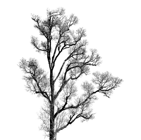 Dead and dry tree is isolated on white background Stock Photo - 17486991
