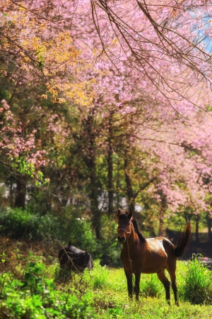 horse in pink Cherry blossom photo