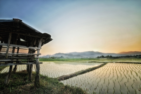 rice paddy field in Thailand Stock Photo - 17486940