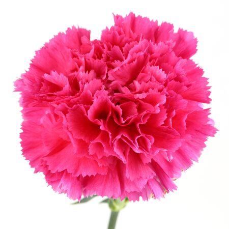 carnation flower isolated white background photo