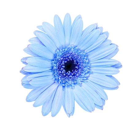 closeup of pink daisy with: Pink gerbera daisy  isolated on white background