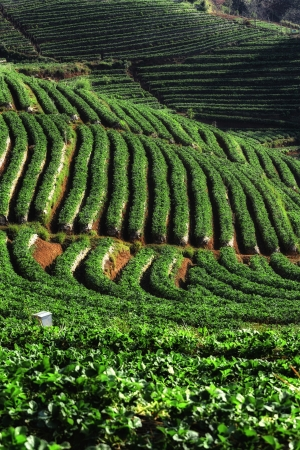 Beautiful strawberrie field at Chiang mai Thailand photo
