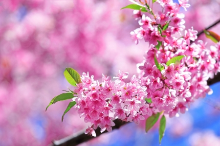 Cherry blossoms with green leaf photo