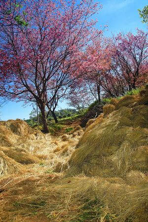 thatch: Sakura in Chiang Mai have thatch Stock Photo