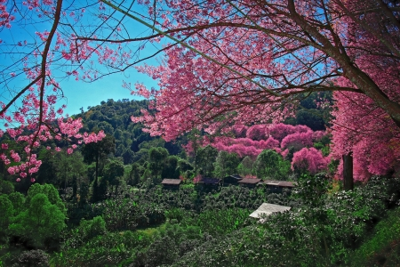 Cherry Blossom Pathway with Coffee trees photo