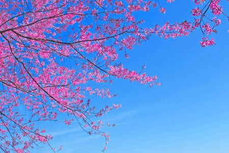 Sakura pink flower in Chiang Mai, Thailand photo
