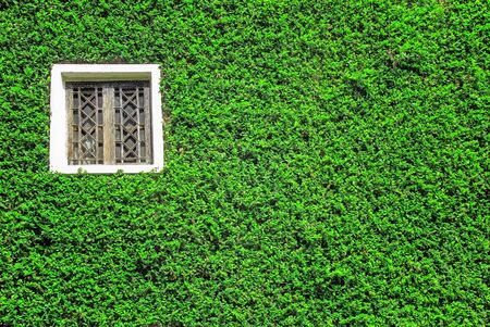 window with green ivy   photo