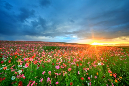 Cosmos field at sunrise photo