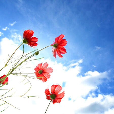 cosmos flowers photo