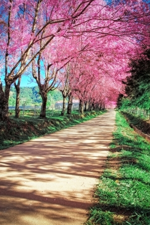avenues: Cherry Blossom Pathway in ChiangMai, Thailand