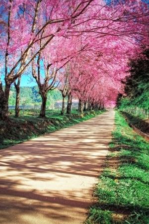 fleur de cerisier: Pathway Cherry Blossom à Chiangmai, Thaïlande Banque d'images