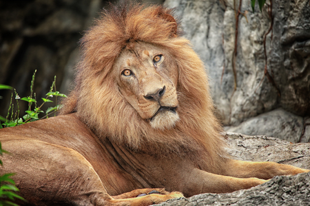 Lion king of animal photo