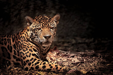 close up eyes: Close up of leopard with intense eyes