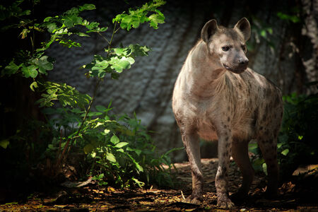 portrait of spotted hyena photo