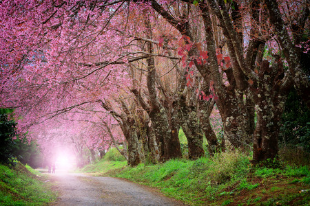 spring green: Cherry Blossom Pathway in ChiangMai