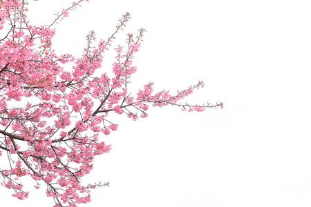 cherry blossom isolated white background Stockfoto