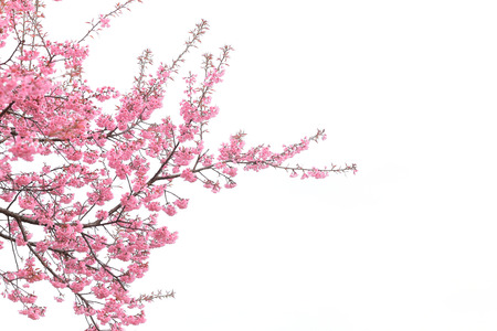 cherry blossom isolated white background Standard-Bild