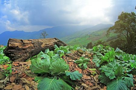 cauliflower: cauliflower field