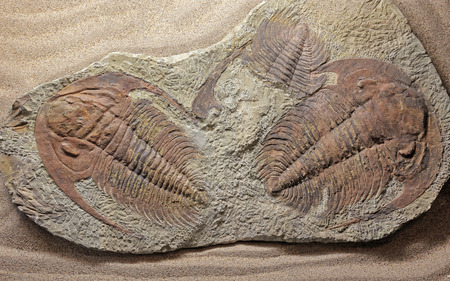 Trilobite paradoxides sp. photo