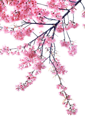 cherry blossom isolated white background Stock Photo