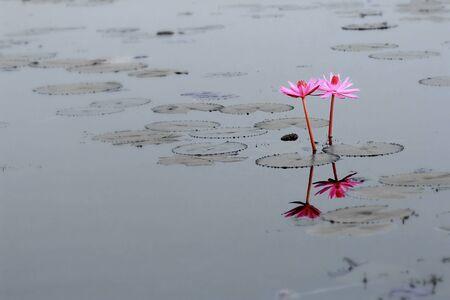 zen attitude: fleurs de lotus roses fleurissent sur étang