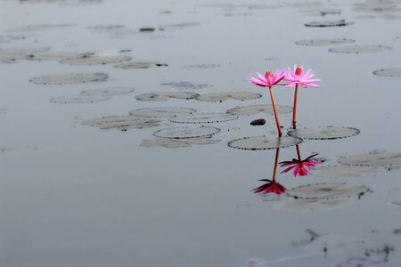 zen: Pink lotus blossoms blooming on pond