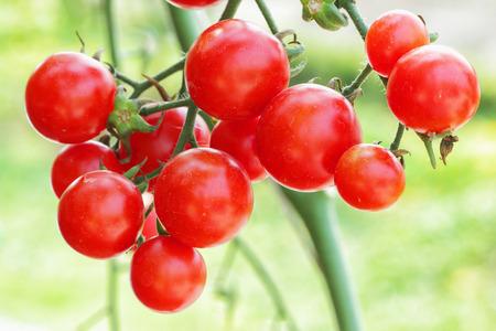 fresh tomatoes plant