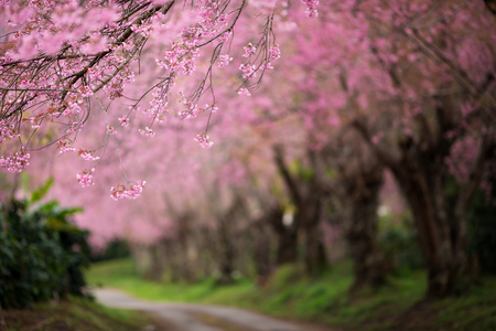 Cherry Blossom Pathway in Chiang Mai, Thailand Stock Photo - 54601085