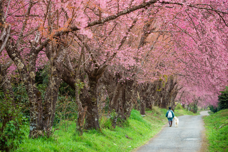 Cherry Blossom in Chiang Mai Thailand Stock Photo