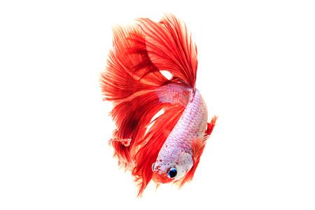 dragon swim: Fighting fish on white background Stock Photo