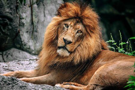 Close up of lion face