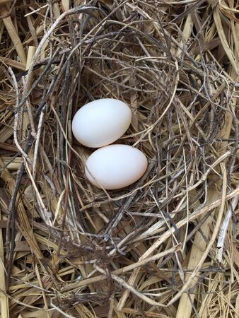 pigeon egg: Egg of pigeon on nest Stock Photo