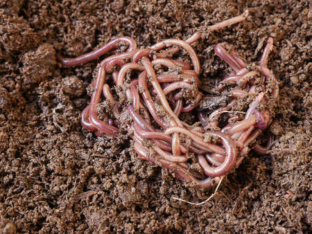 Groups of earthworm African Night Crawler on the ground