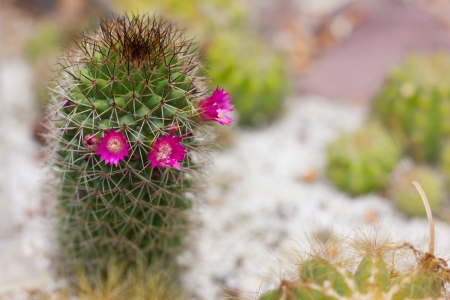 cactus with pink flowers photo