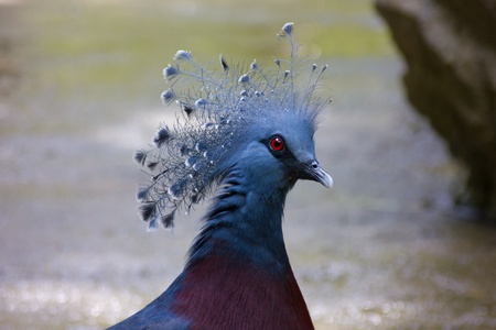 a crowned pigeon with blue plumage photo