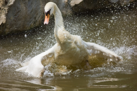 a swan is cleaning itself, front view  photo
