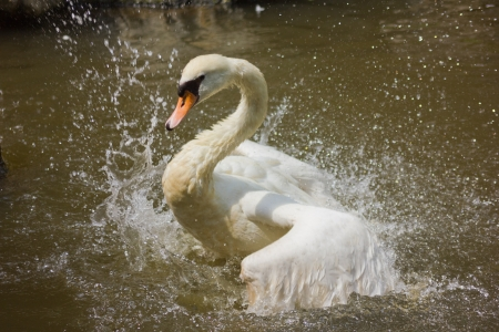 a swan is cleaning itself, side view  photo