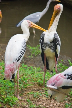 painted storks help each others Stock Photo - 21746397