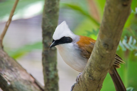 white crested laughingthrush: white-crested laughingthrush, Garrulax leucolophus