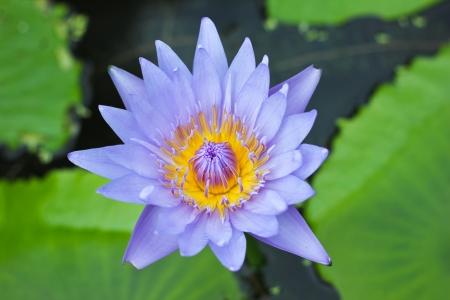 A Beautiful Purple Lotus photo