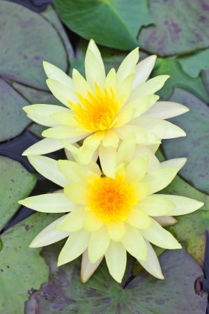 Coupe Yellow Lotus photo