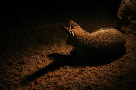 eared: Alone bat eared fox - Otocyon Megalotis Stock Photo
