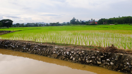 recently: Rice green fields recently planted with irrigation Stock Photo