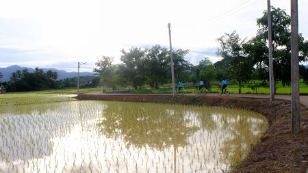 recently: Rice green fields recently planted with people bicycle Stock Photo