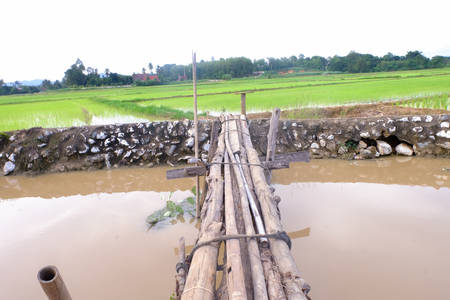 recently: Rice green fields recently planted with wood bridge