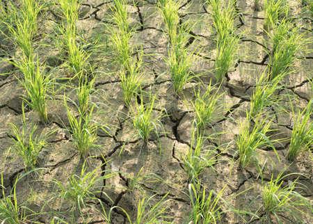 dehydrate: Cracked soil dehydrate soil on rice fields Stock Photo