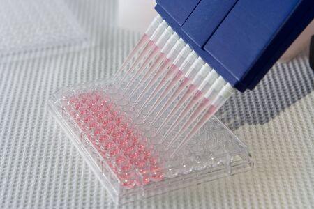 pipette: Blue multi-canal utilizado para pipeta de pipeteado a 96 y de color rosa con placa de soluci�n en blanco  Foto de archivo