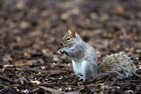 Squirrel eating a nut it just found. photo