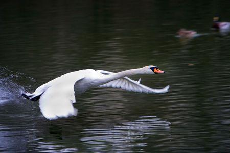 swans: Swan volando sobre la superficie de un lago